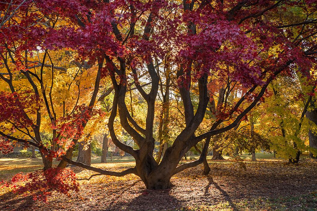 Erik Gehring - Red Leaf Japanese  Maple.jpg
