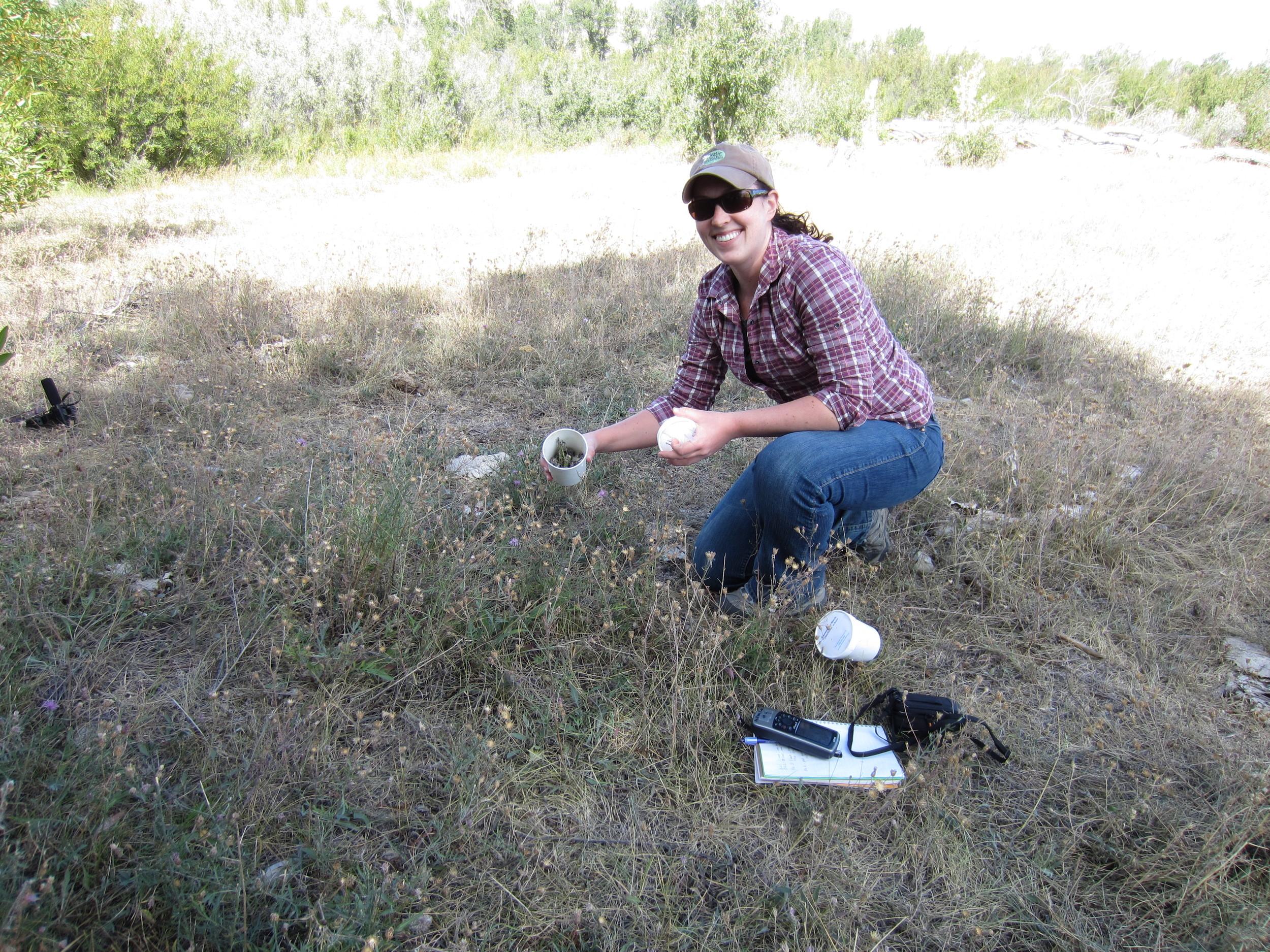 Releasing knapweed weevils