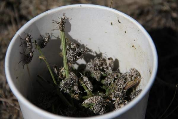 Knapweed Root-boring weevils