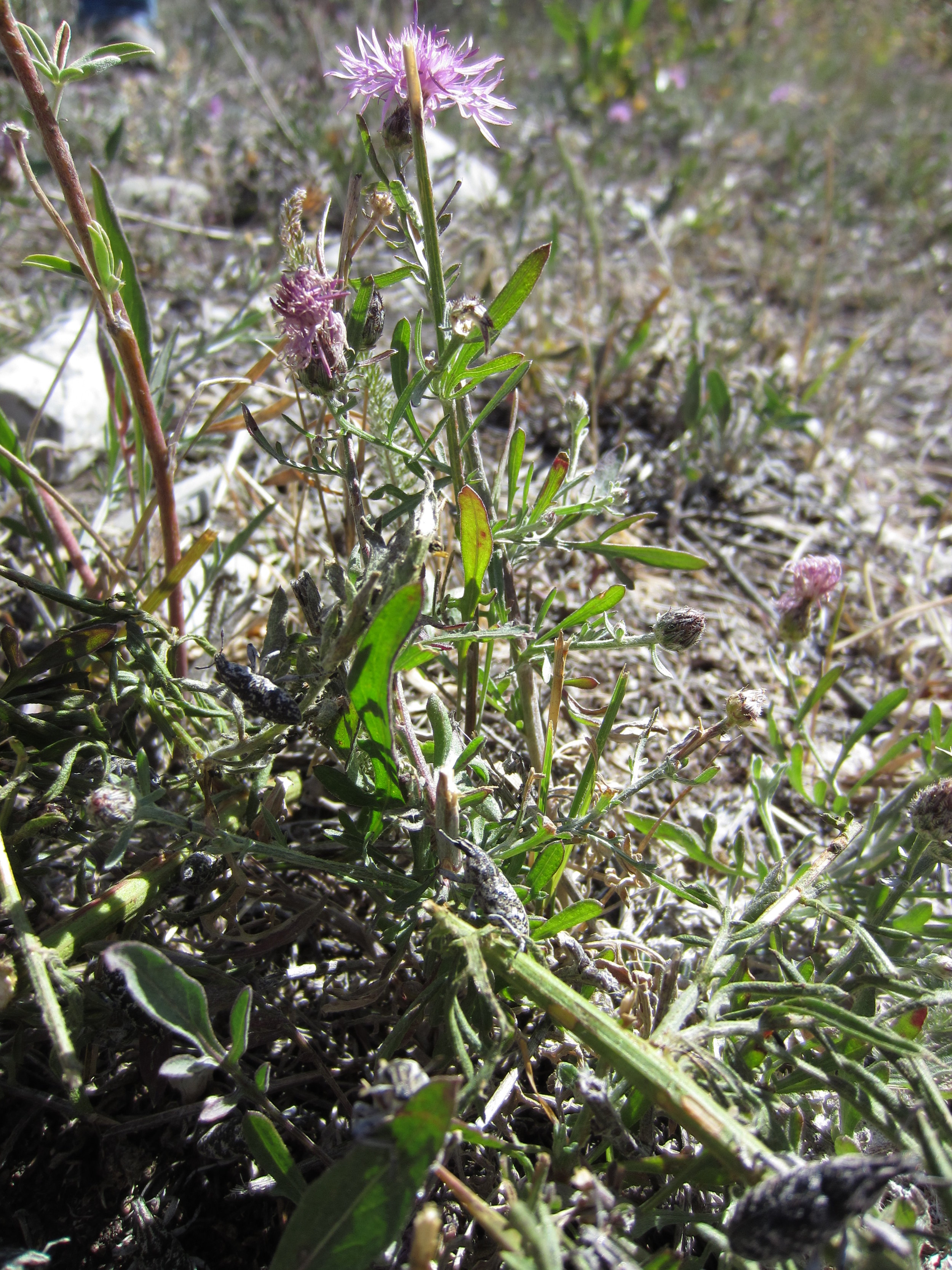 Spotted knapweed with weevils