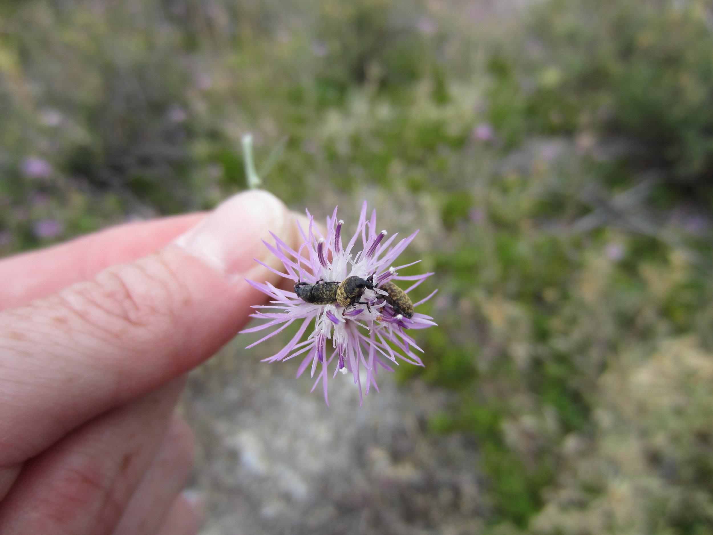 Knapweed root-boring weevils (Cyphocleonus)