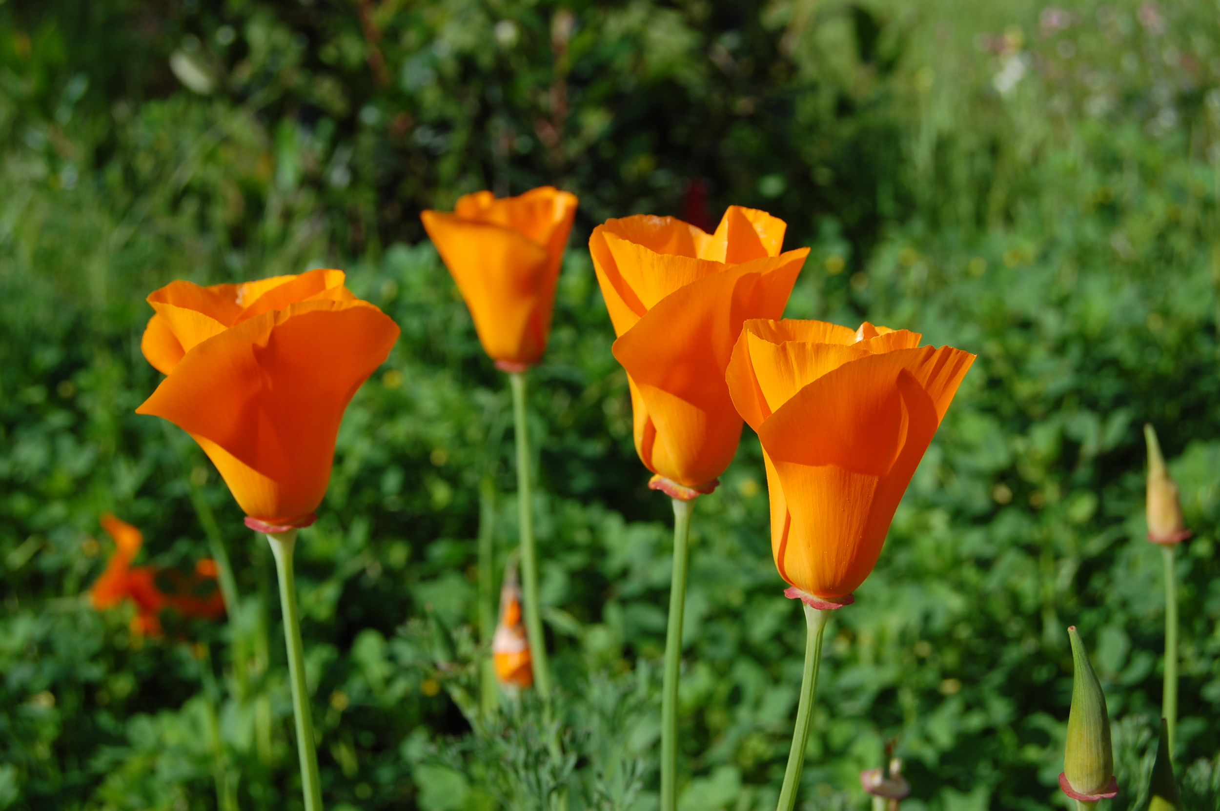 California Poppies in March