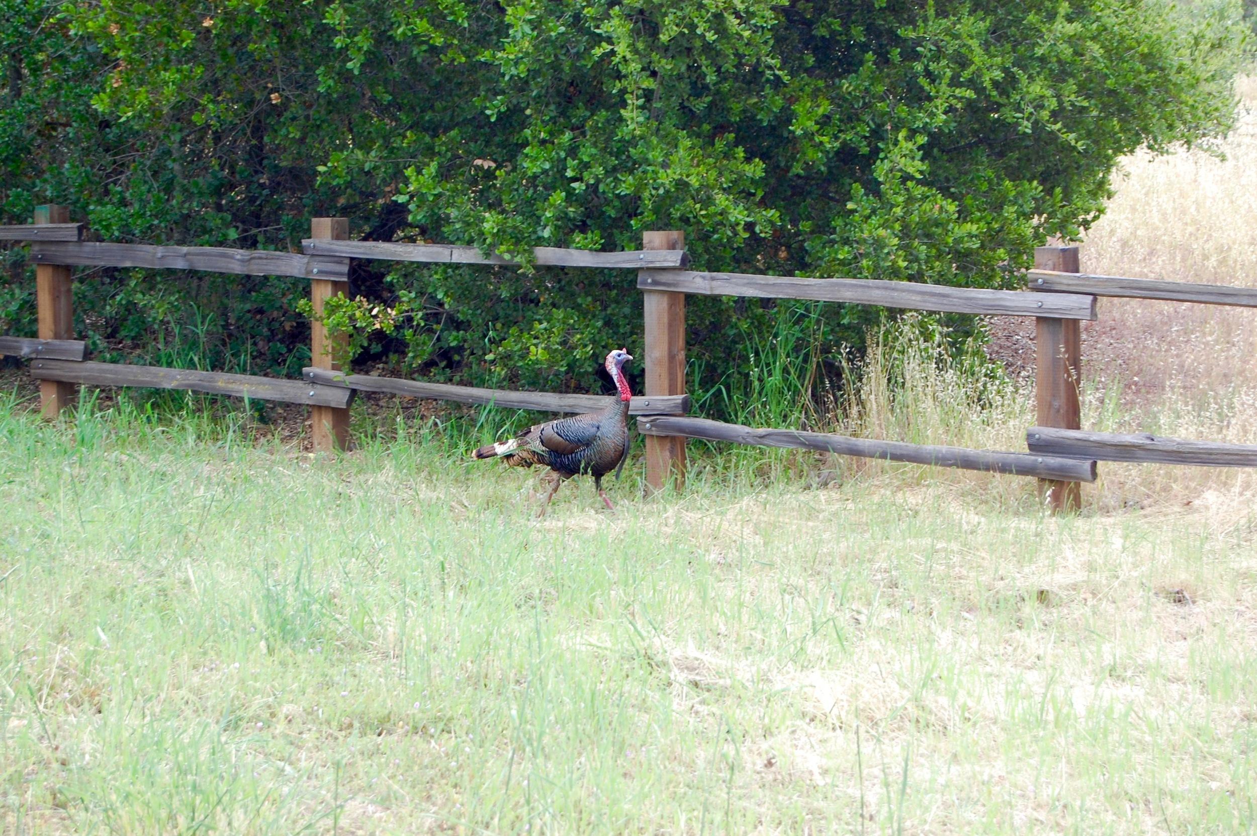 Wild Turkey at Rancho San Antonio Preserve, Los Altos.
