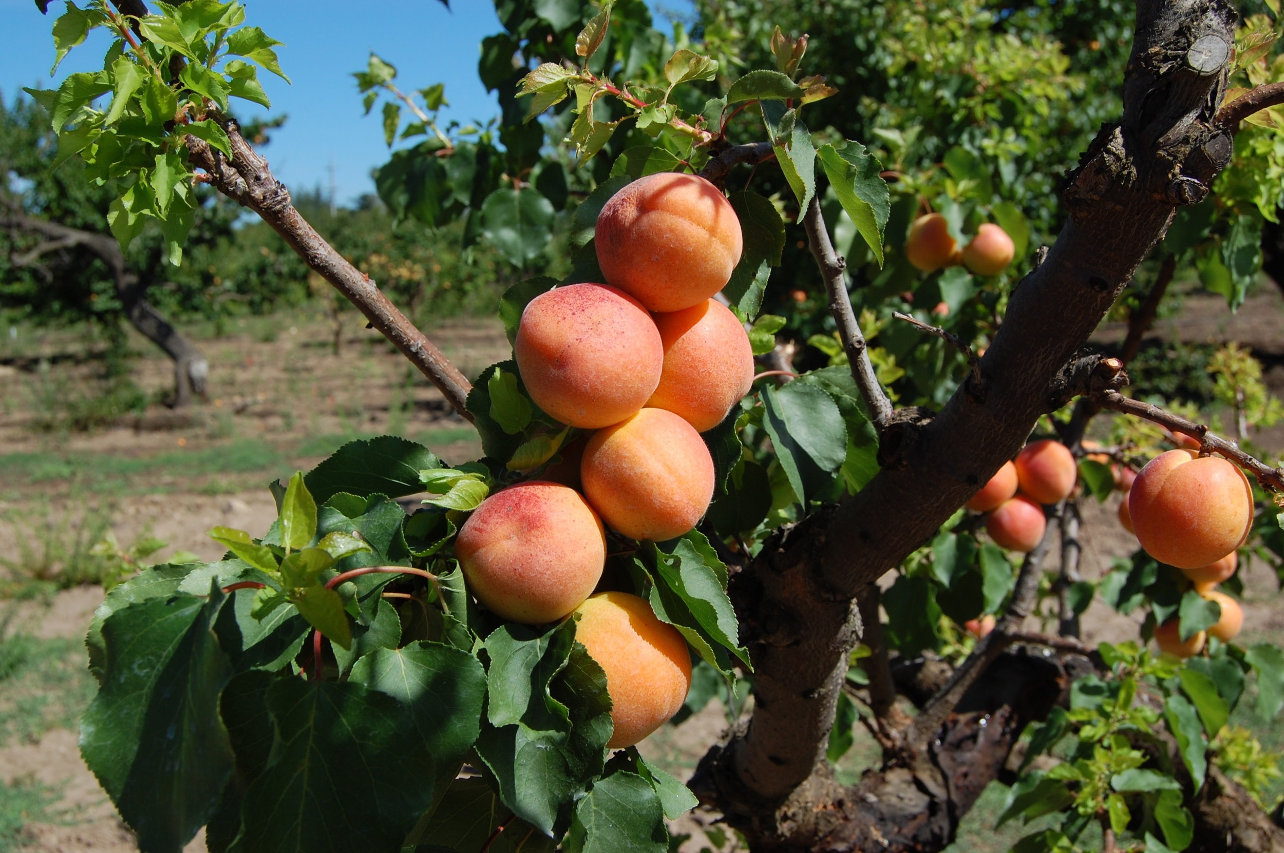 Silicon Valley Apricots