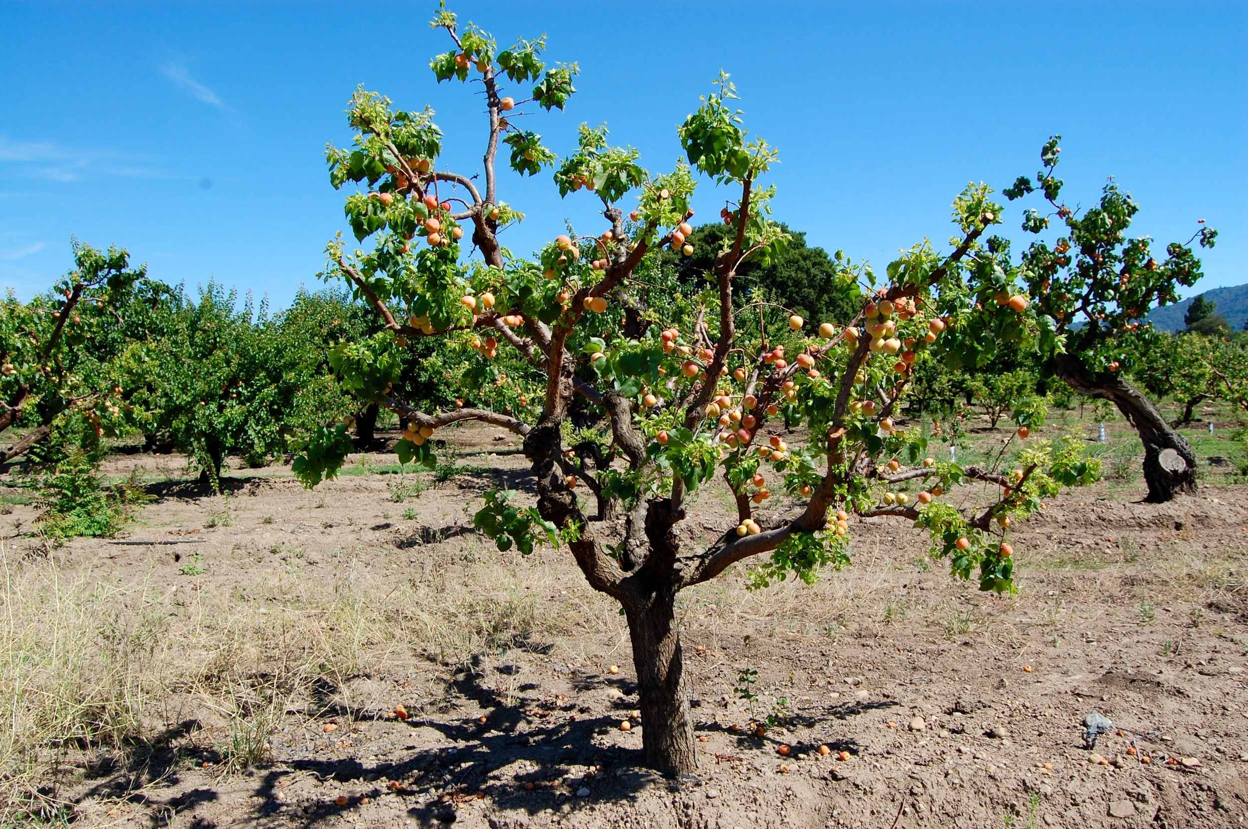 Silicon Valley Apricot Tree