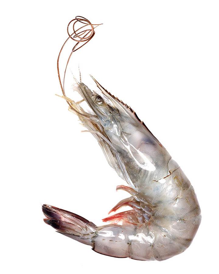 shrimp_00008_16x20.jpg