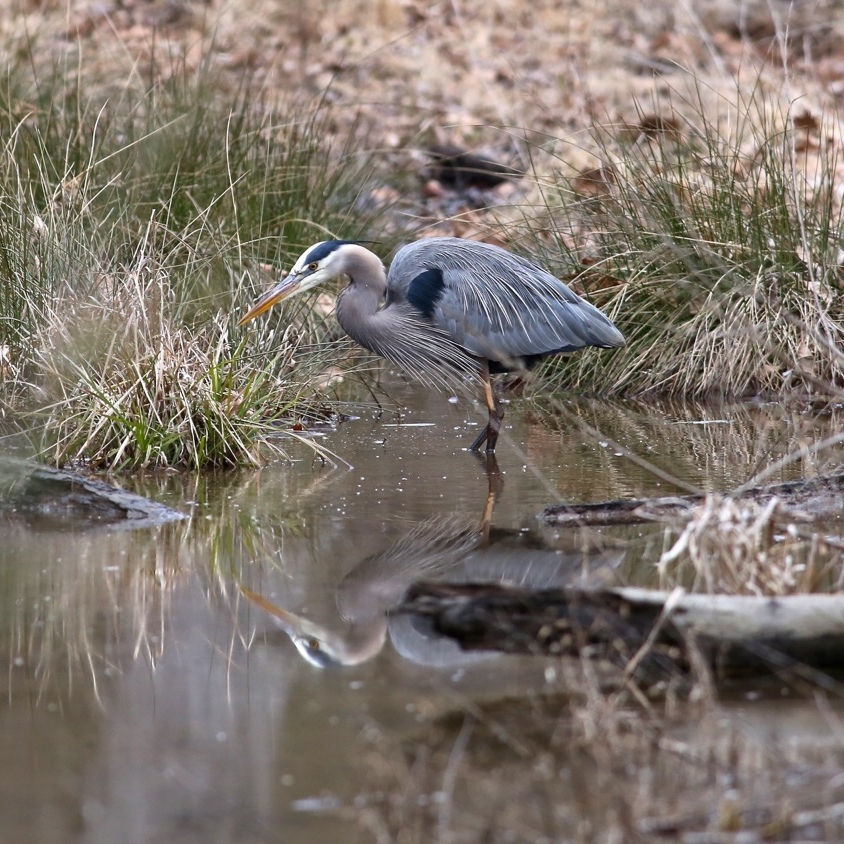Great Blue Heron, Bolin Creek