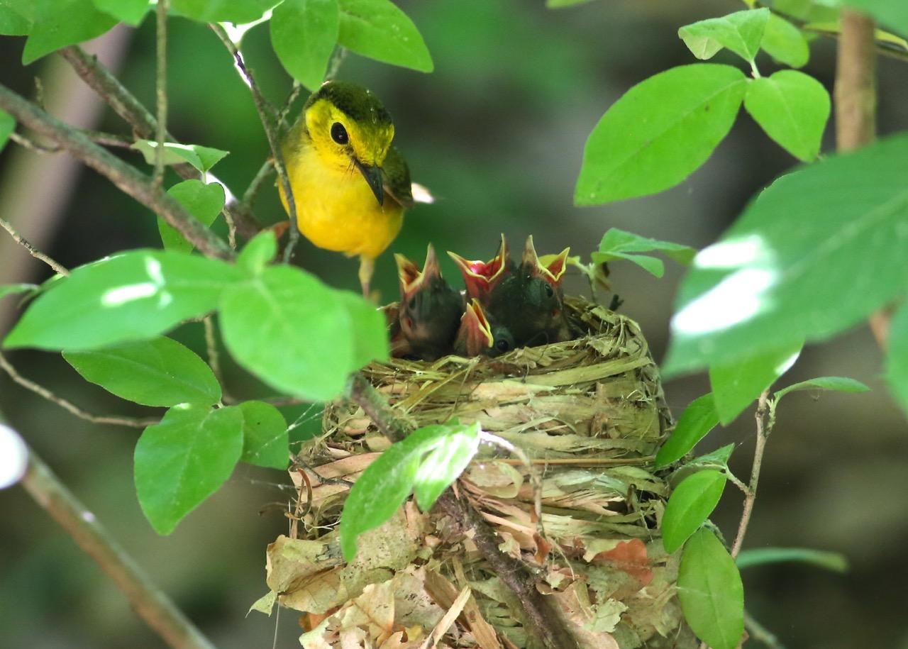 Hooded Warbler, Bolin Creek