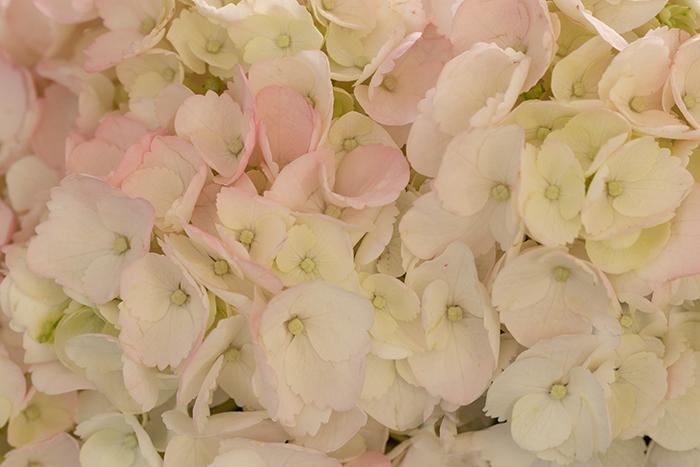 Pink-White Bigleaf Hydrangea Macrophylla-Resized-7285.jpg