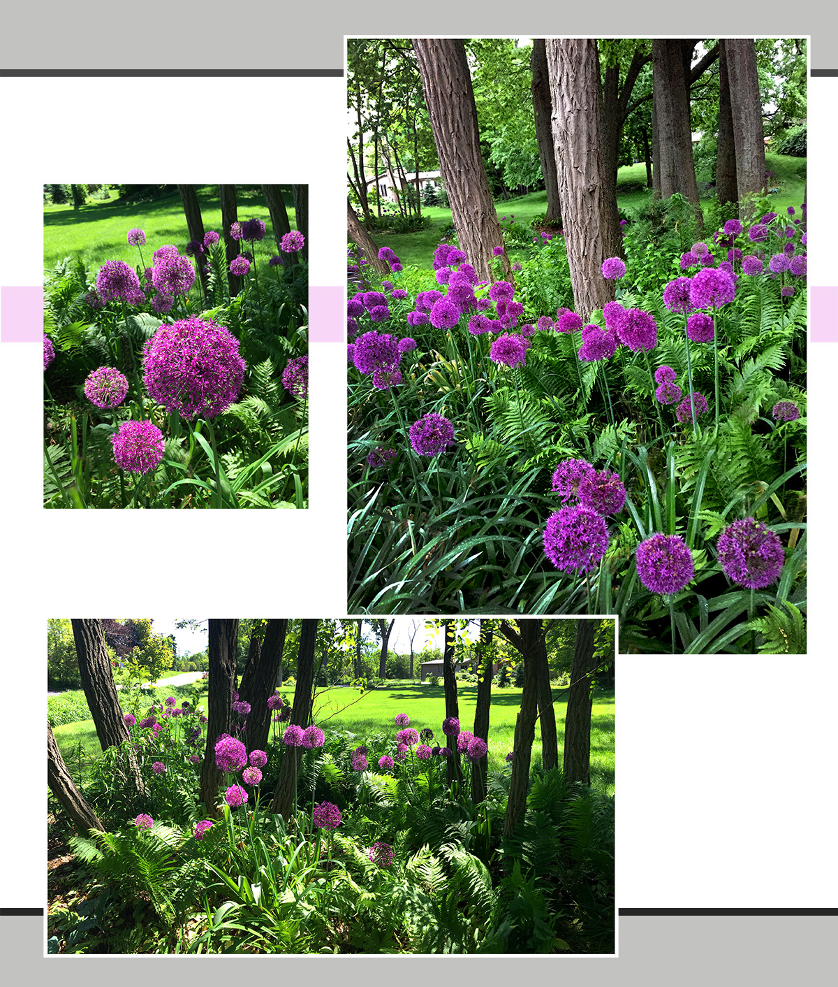 The magical allium and fern garden close to my house . . .