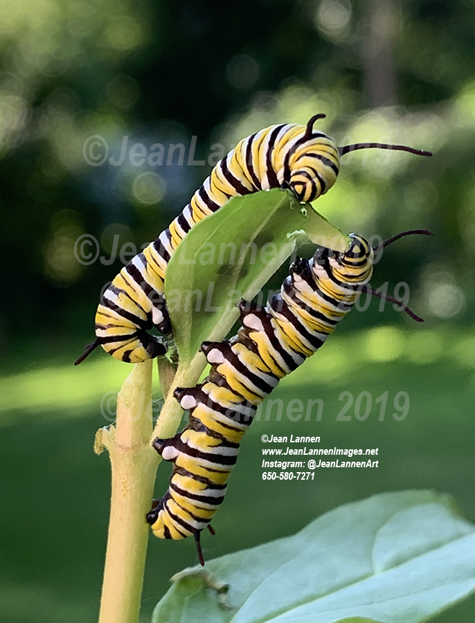5762 Monarch Cats 10-22 on MW iphone sentnancy.jpg