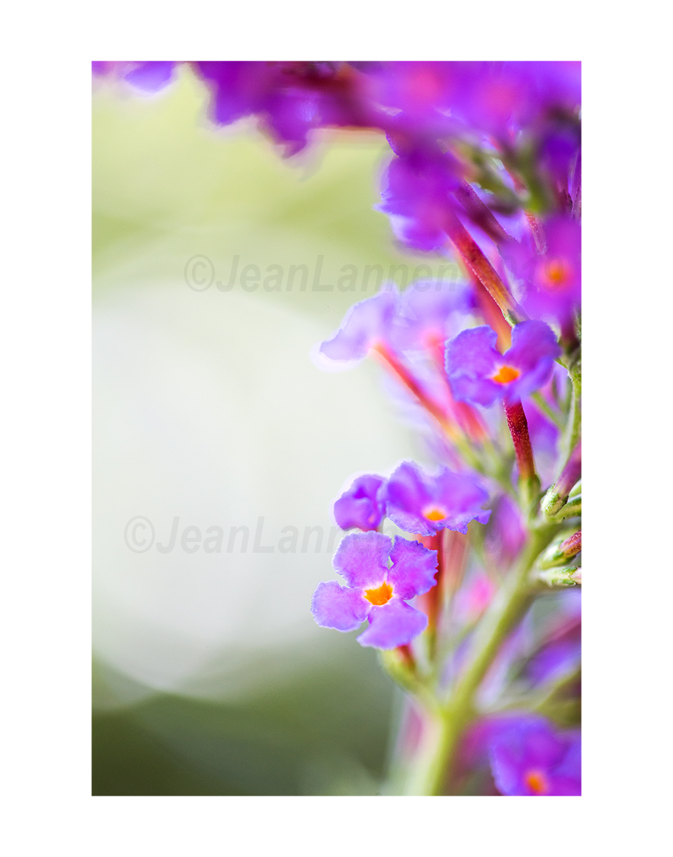 2600 Butterfly Bush 8x12 on 11x14 ETSY copyright.jpg