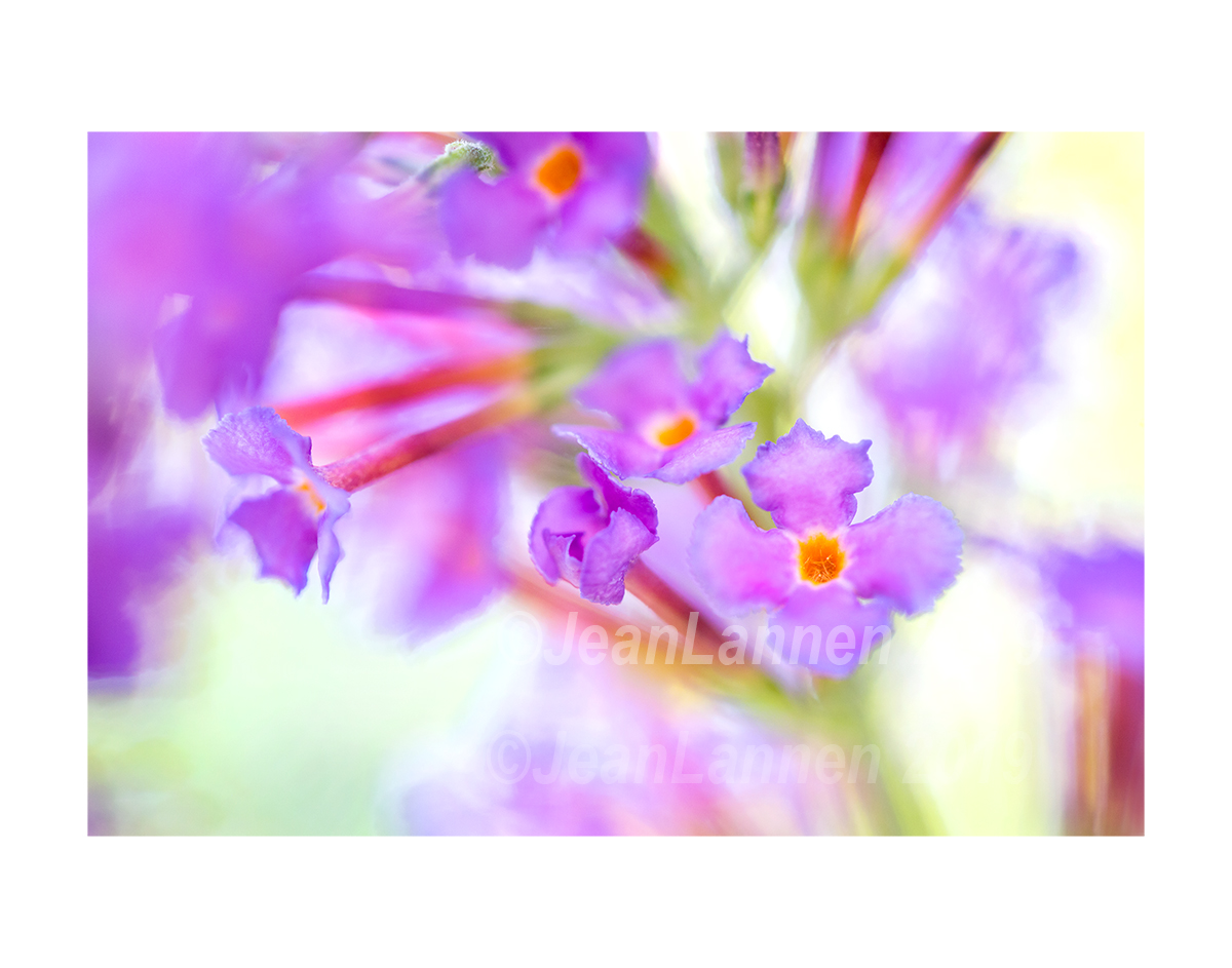 2630 HERO ButterFly Bush ETSY HITE copyright.jpg