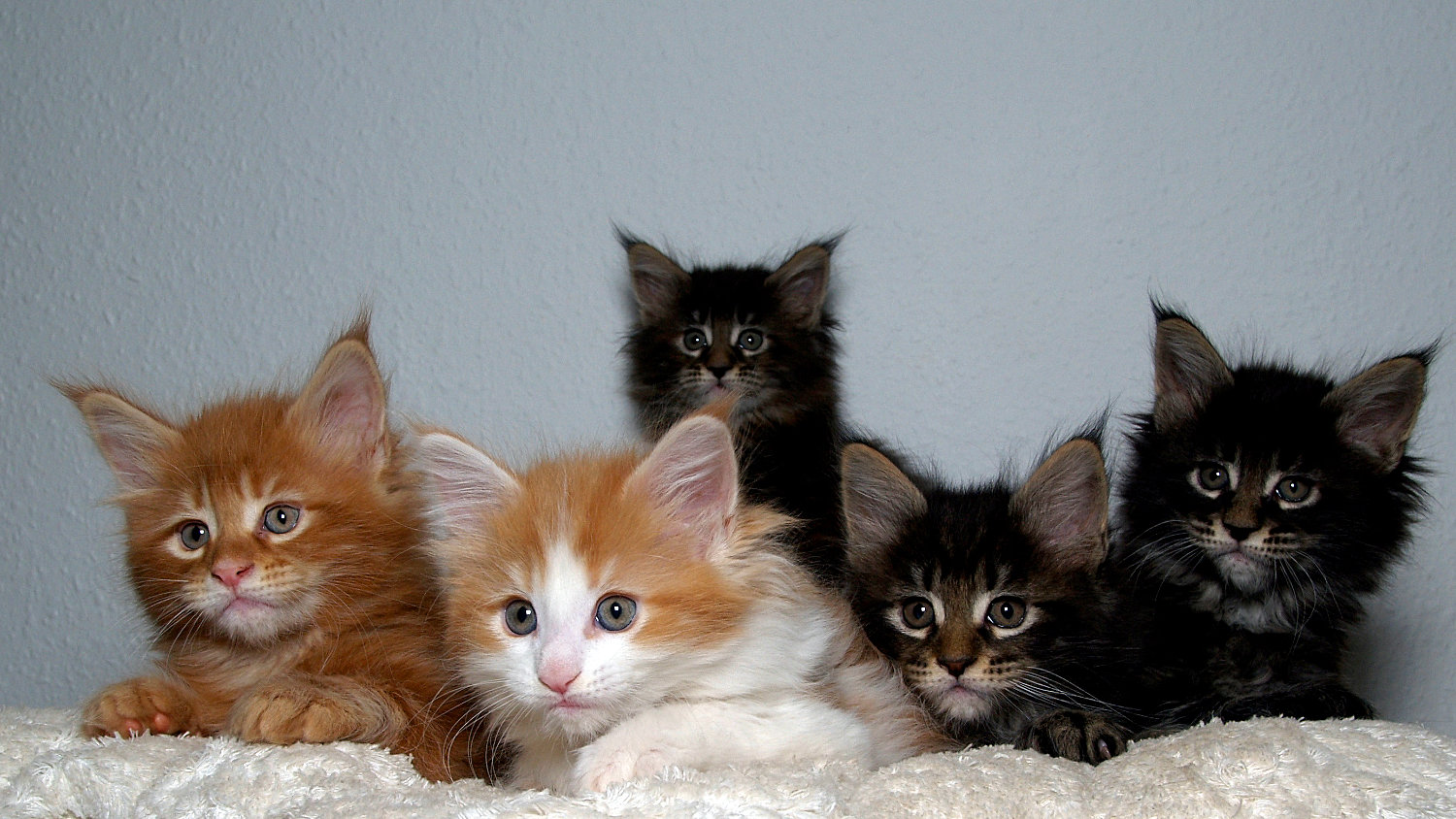maine-coon-kittens.jpg