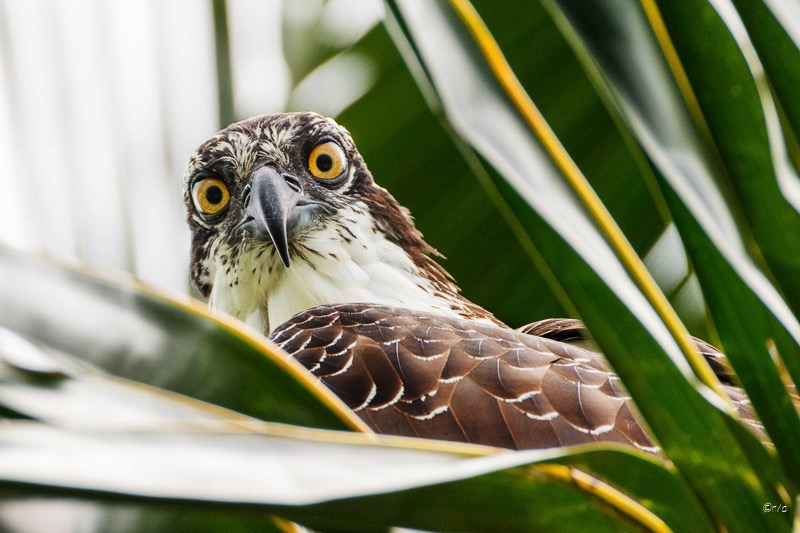 Osprey in Palm