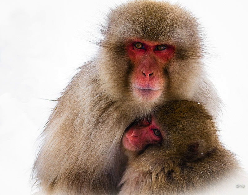 Japaneses Macaques-Mother and Baby
