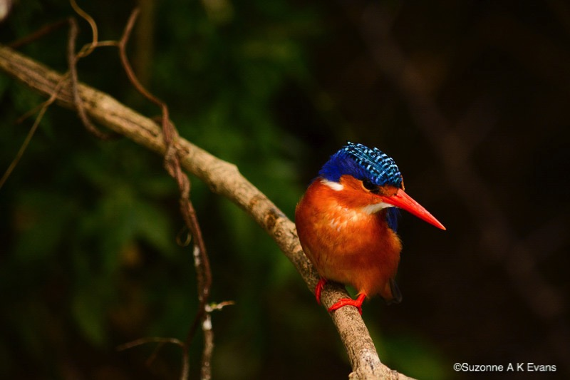 Tiny Malachite Kingfisher - Jewel on the Nile