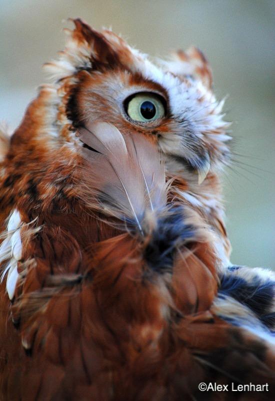 Red Morph Screech Owl