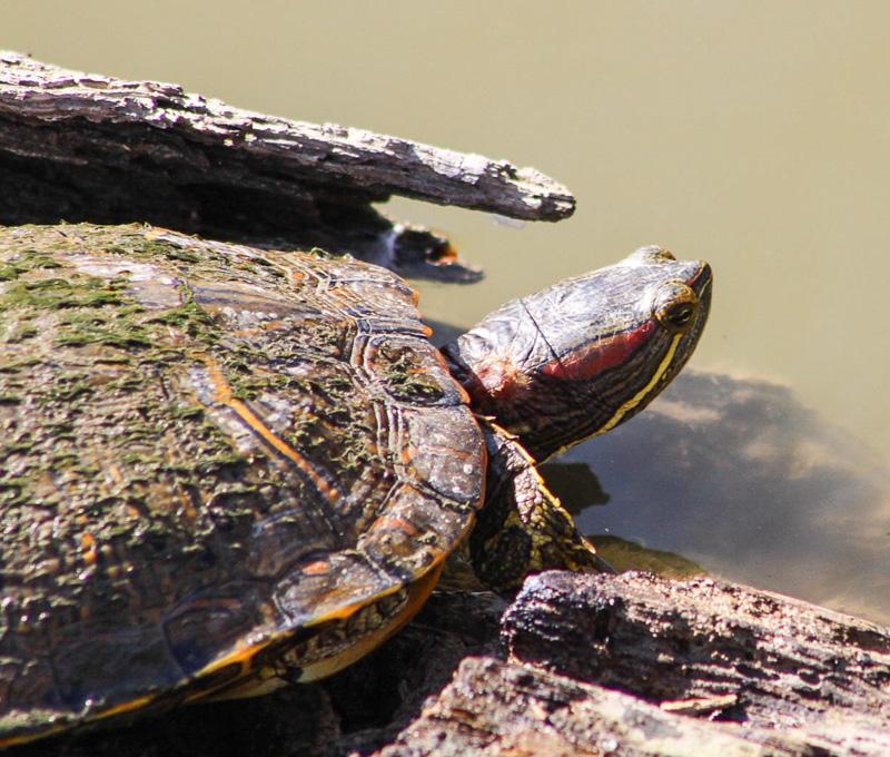 Joey the Turtle