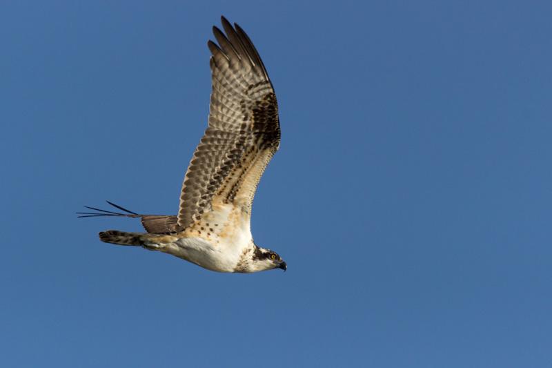 © Ty Casabar Osprey on the Hunt