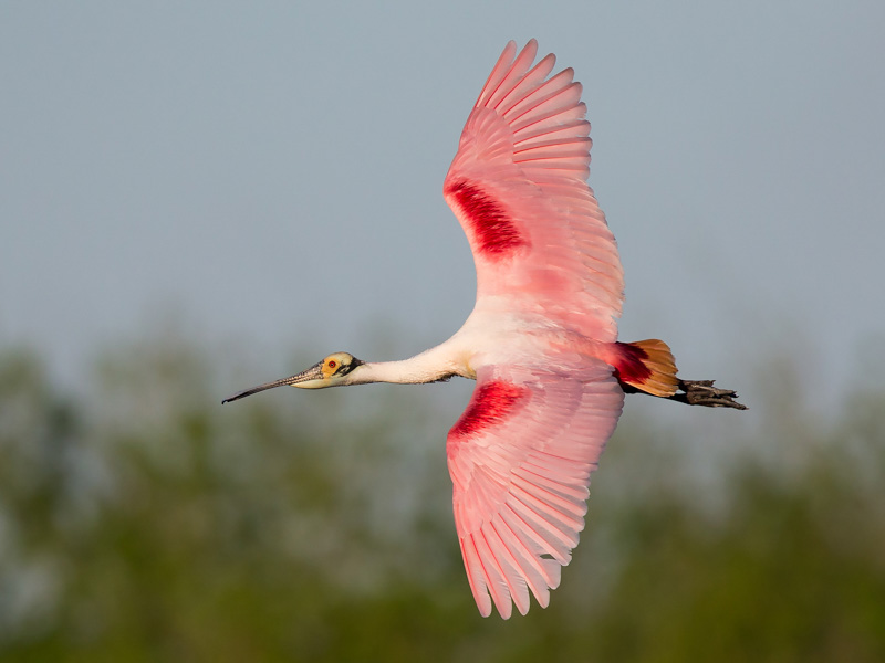 Roseate Spoonbil in Flight
