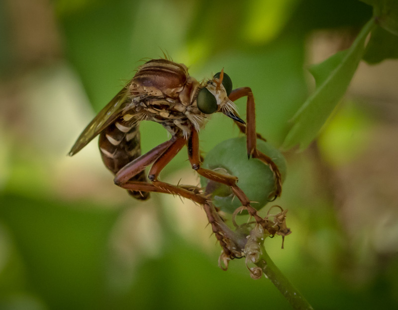 Robber Fly on Grape Ivy