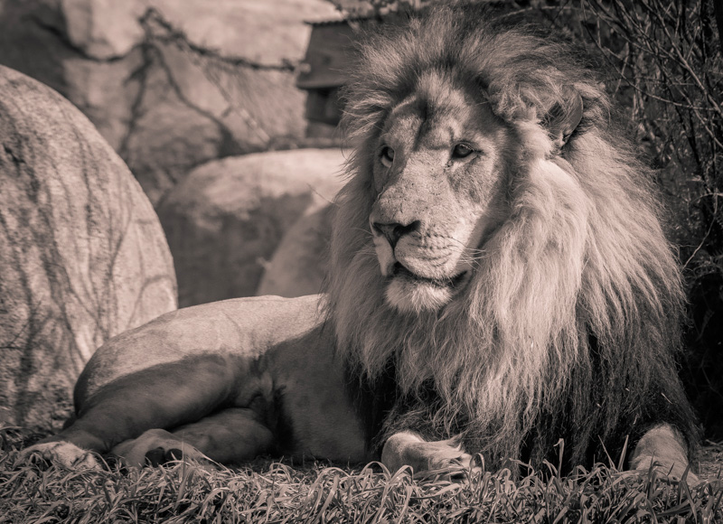 Lion King, Dallas Zoo