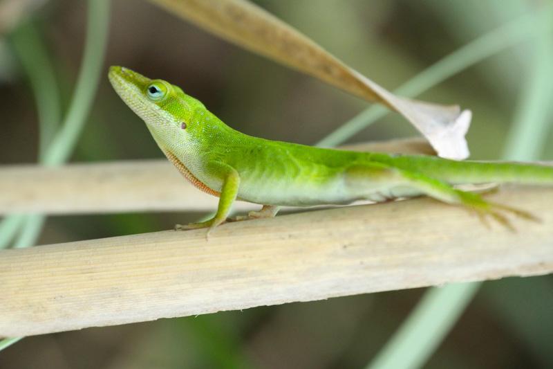 Proud Gecko