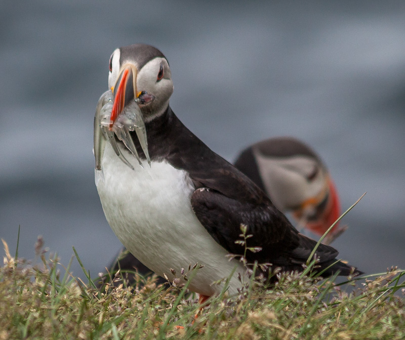 Puffin's Dinner