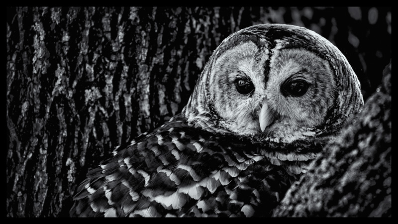 Barred Owl (Captive)