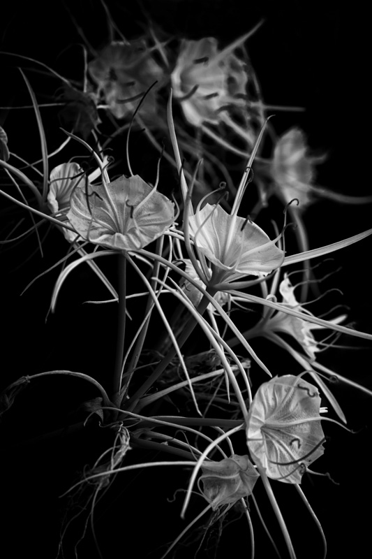 S pider Lillies