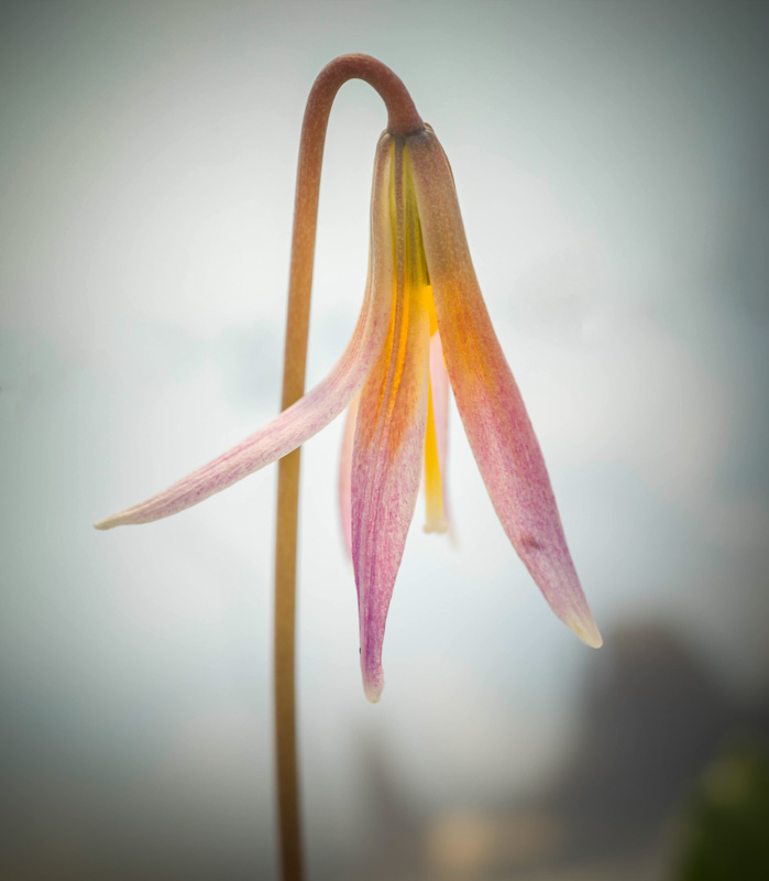 Heard Trout Lily #2