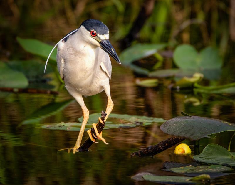 Black Crowned Night Heron.  This beautiful bird was hunting his