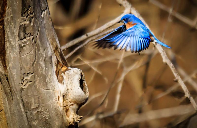 Bluebird at Hagerman