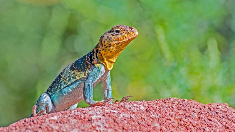 Common Lizard at Wichita Mountains NWR©LeeHatfield2016