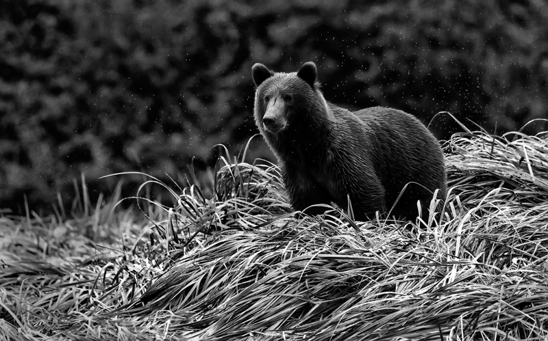 Grizzly in the Rain