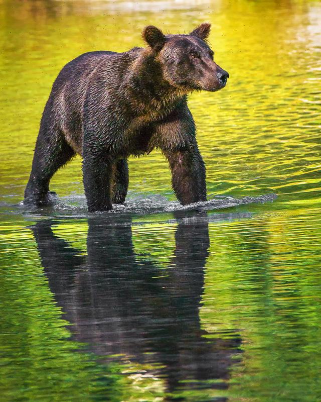 Wading Bear