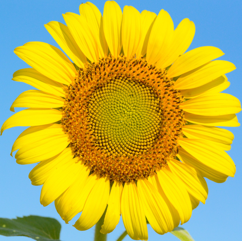 ©Suzonne Evans ~ Fibonacci Flower