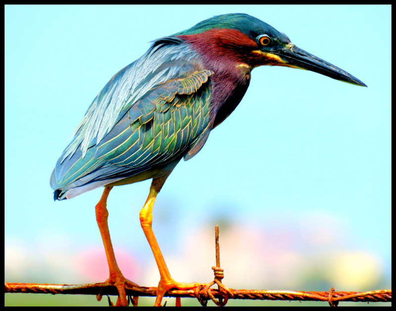 Wire under a Green Heron