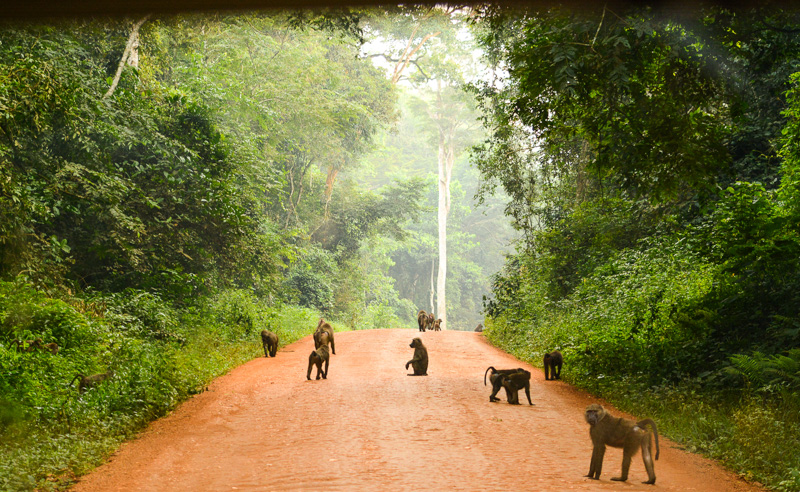 © Suzonne Evans ~  Baboon Rush Hour