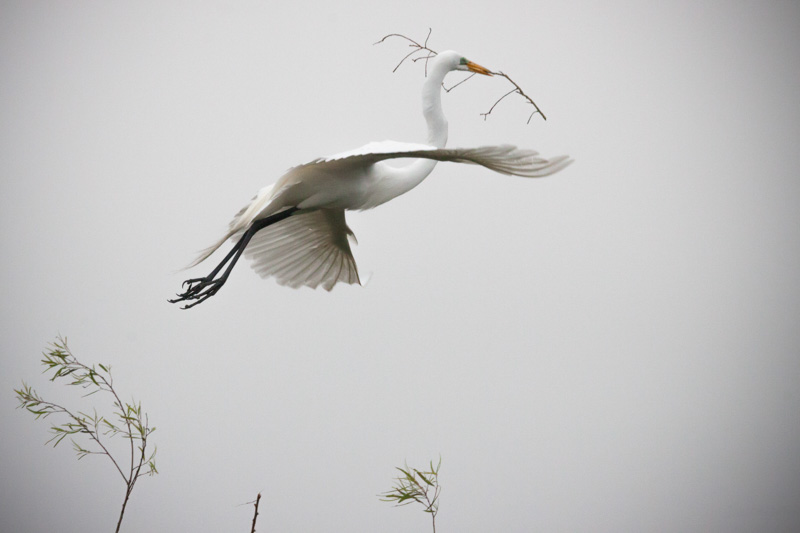Egret Procuring Twigs for a Nest