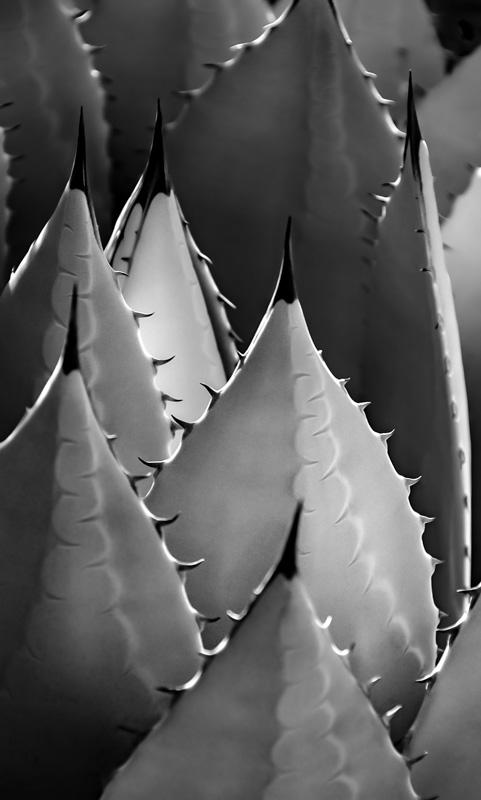 Century Plant Spires