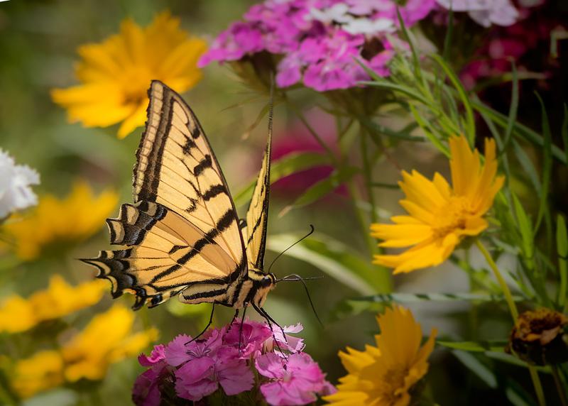Swallowtail I