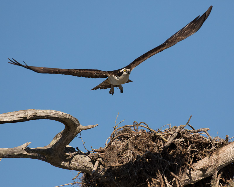 Osprey Over Nest 1687