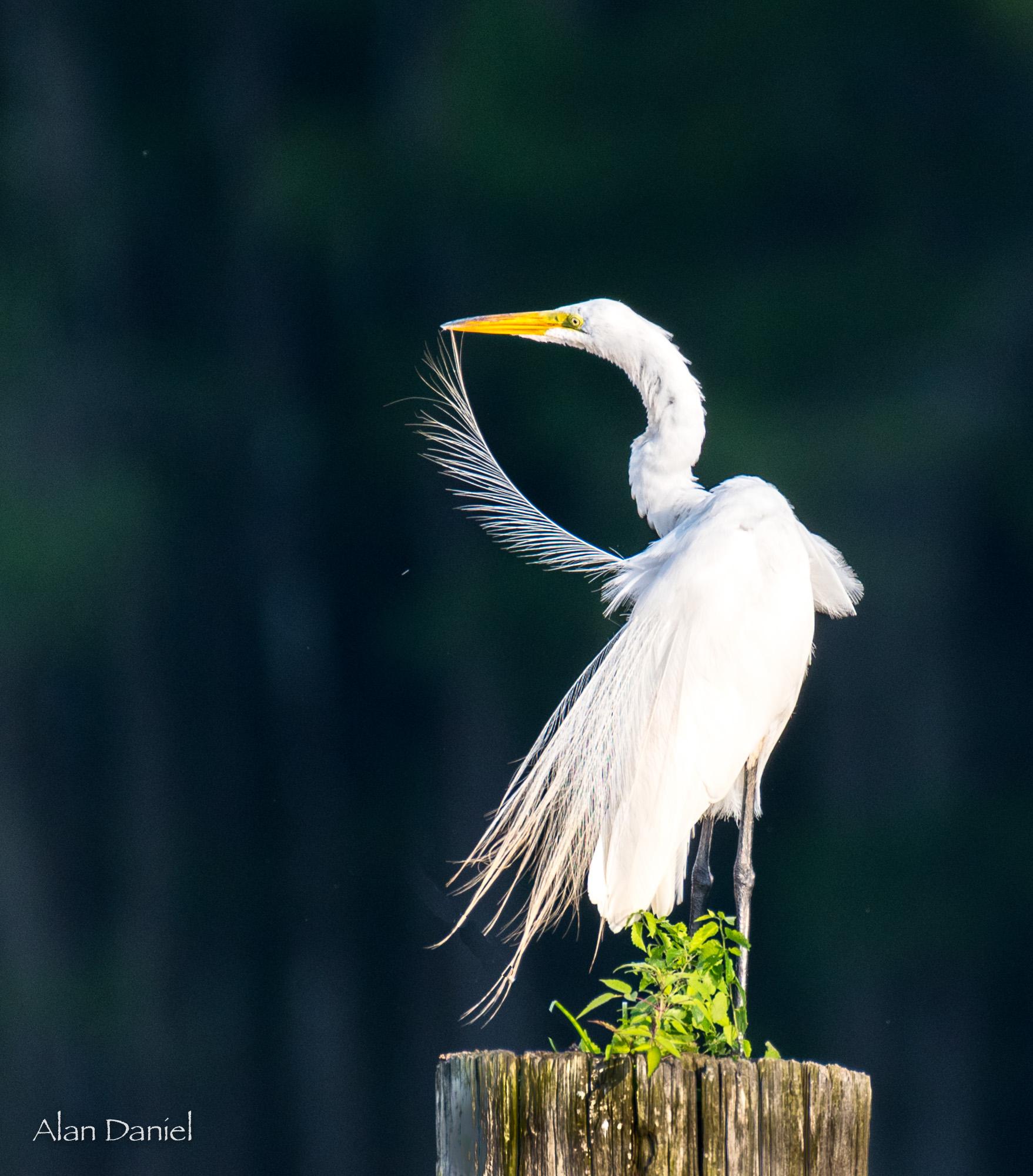 02.AD.Caddo Egret.jpg