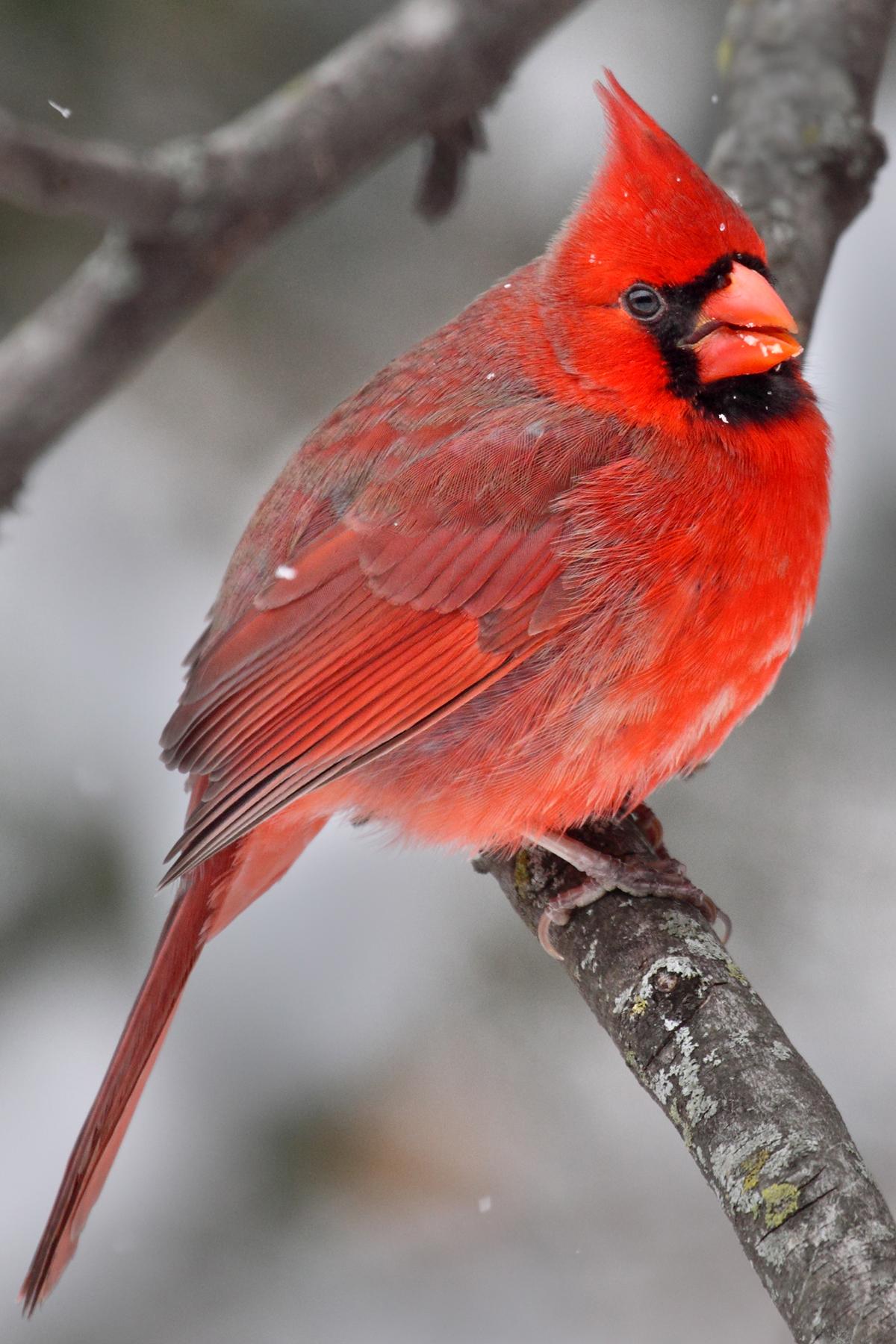 CardinalPortrait - JimRoss.jpg