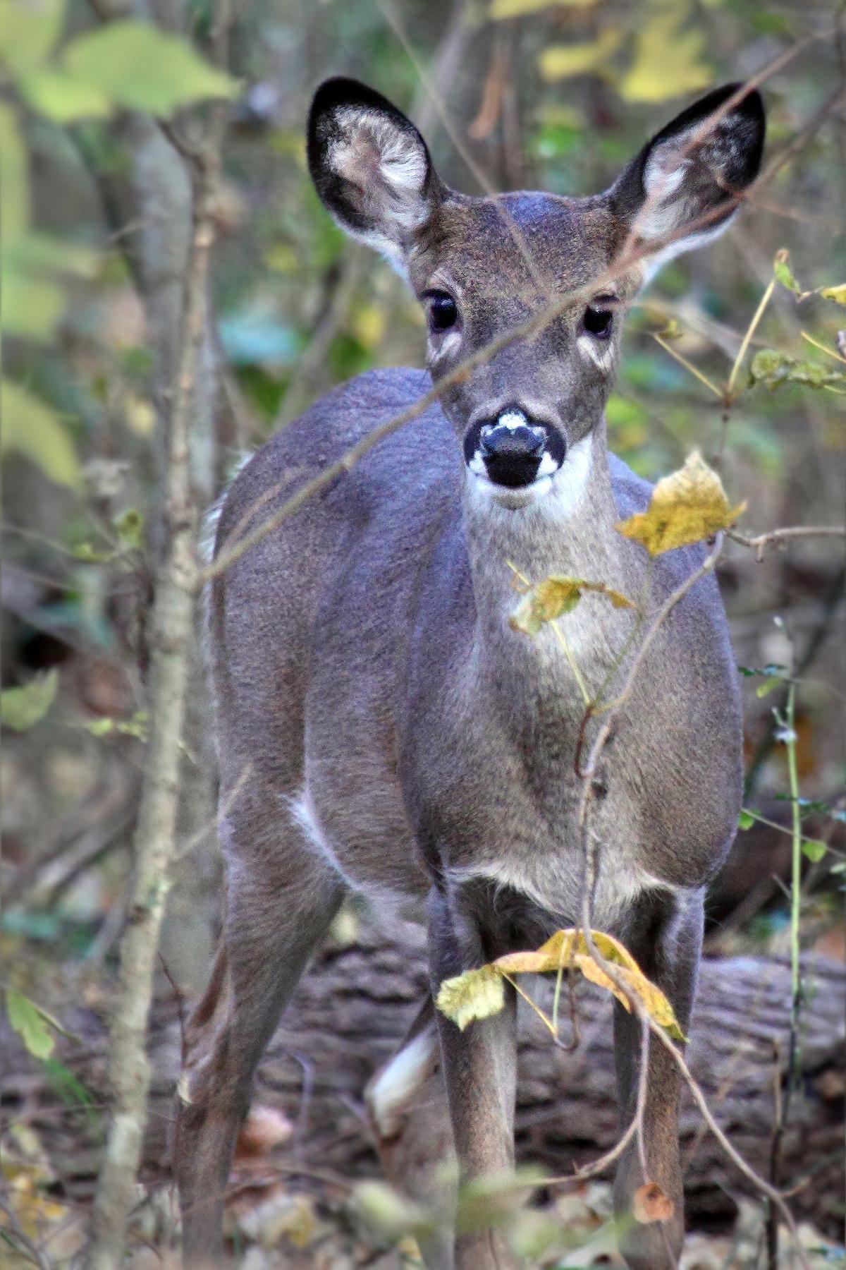 Deer - JimRoss.jpg