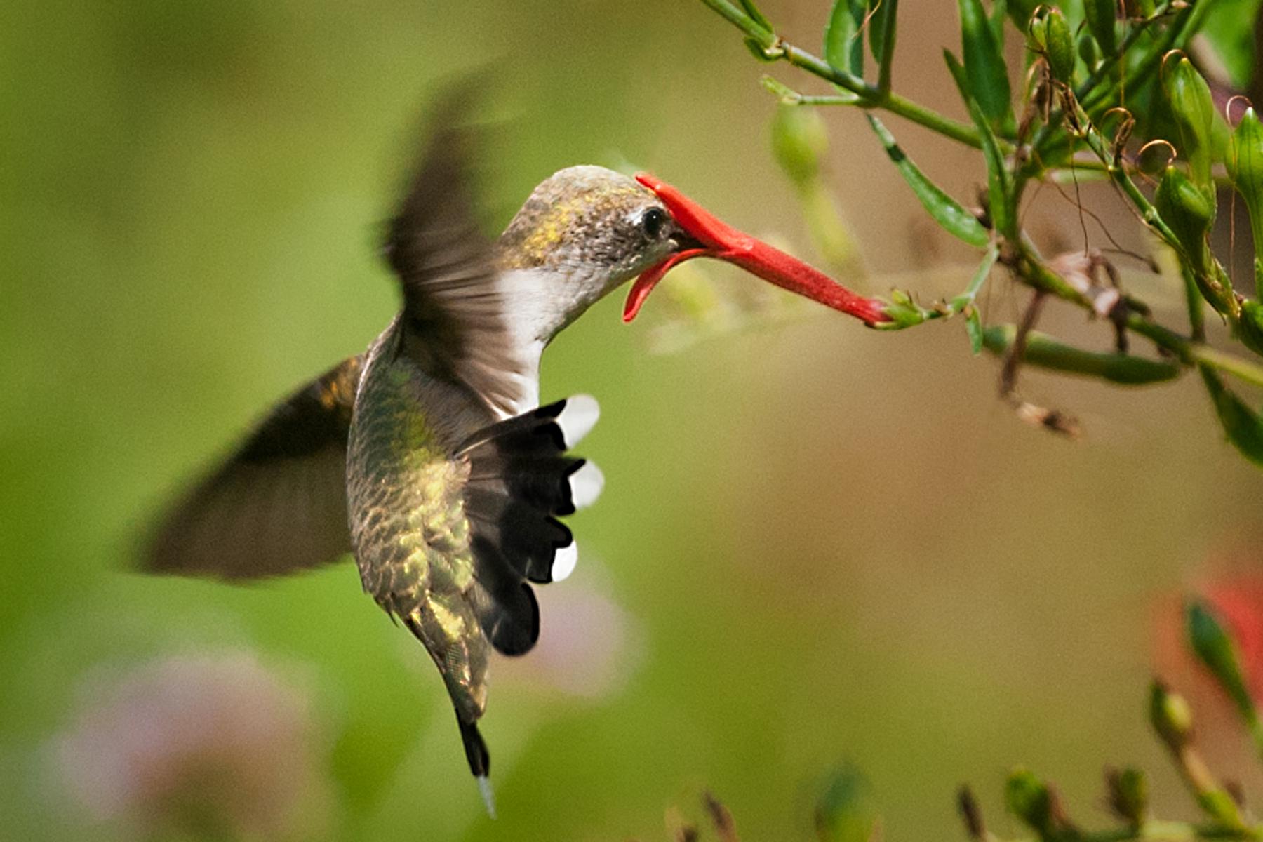 FemaleBlackChinnedHummingbird - DeniseRemfert.png