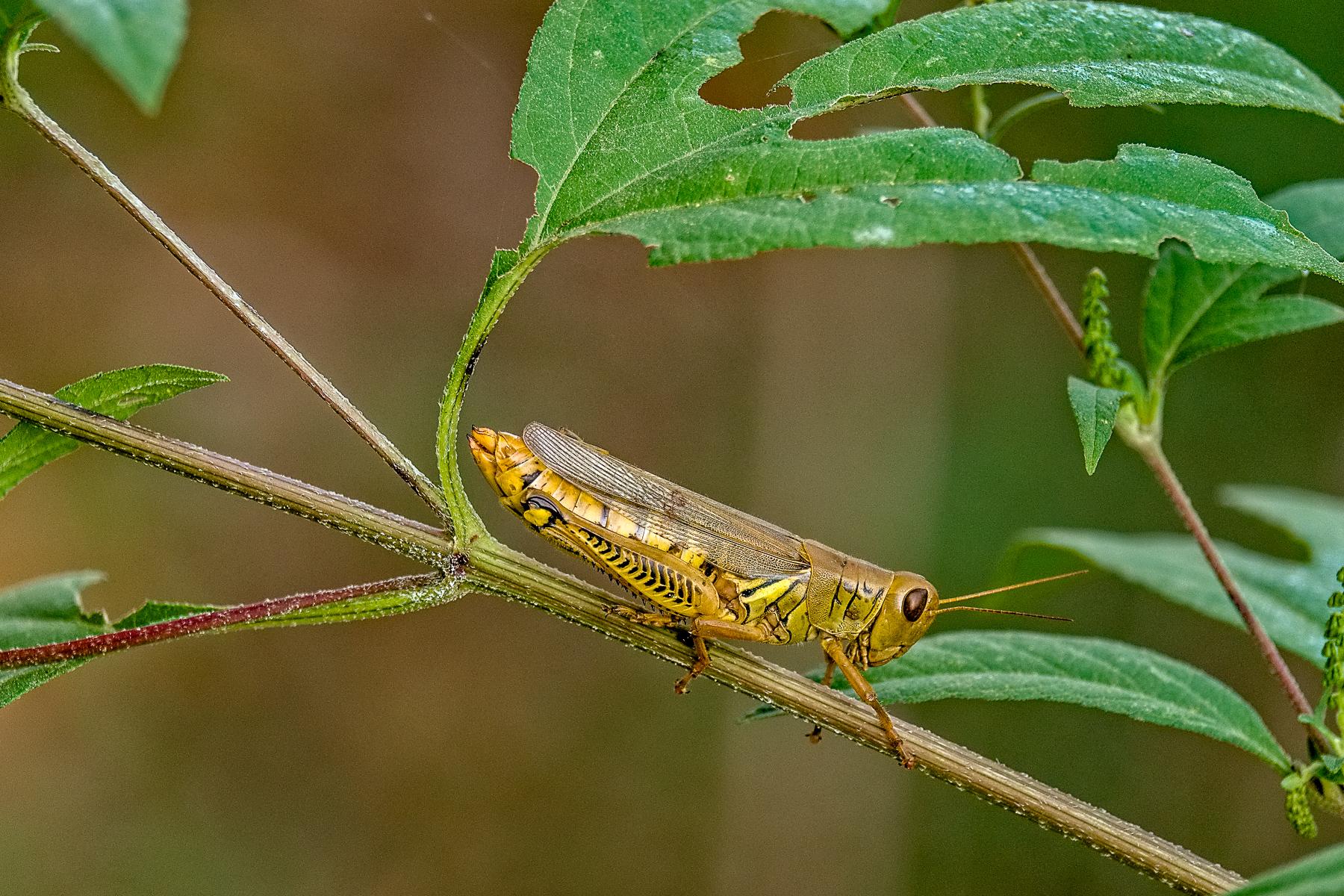 Grasshopper - PeterGilbert.jpg