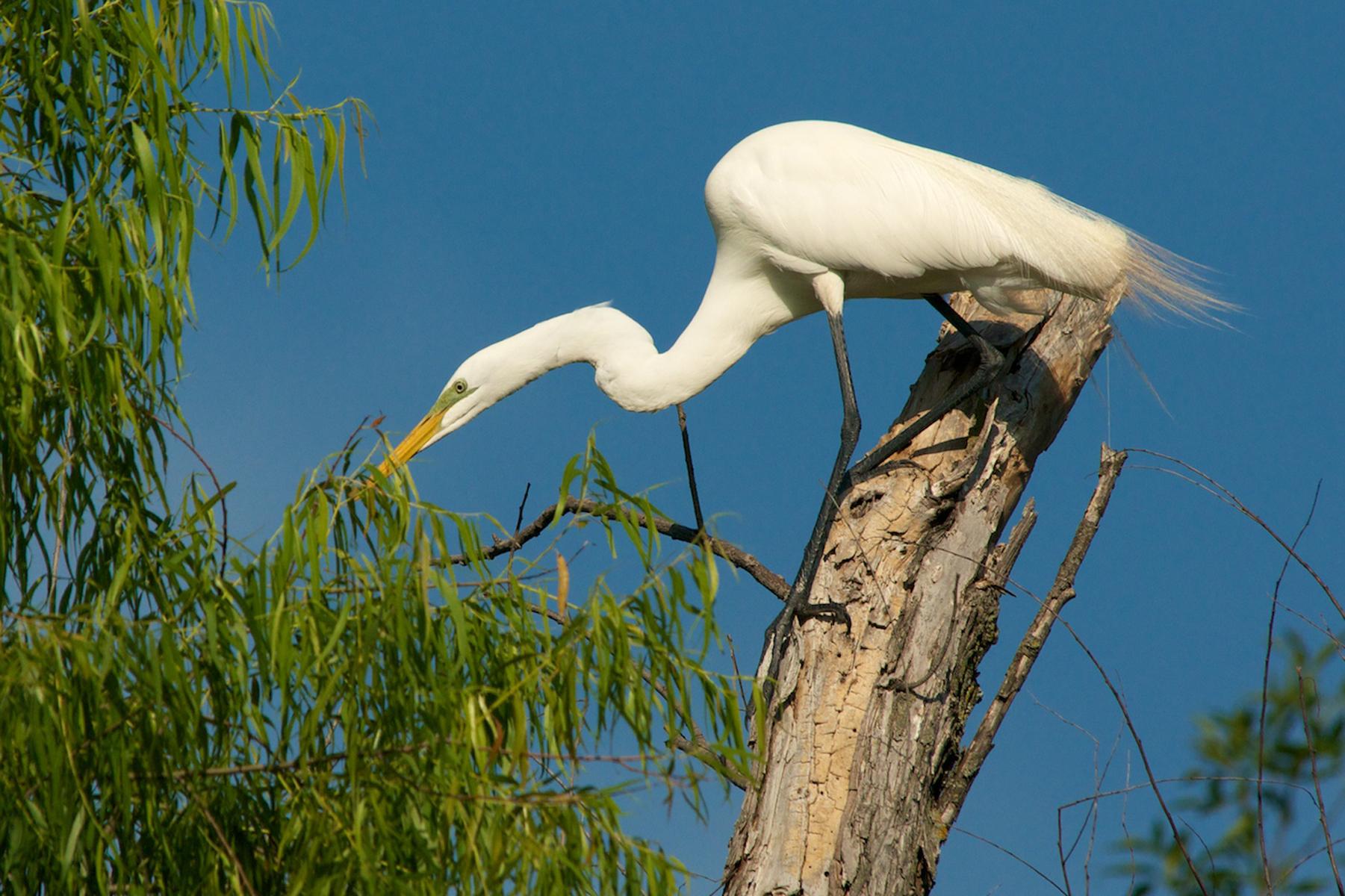 LH 6813 4579 Great Egret